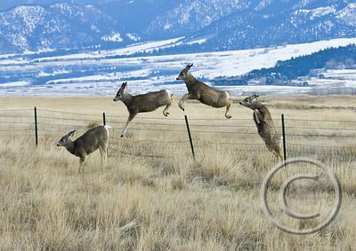 Counting Deer