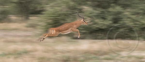 Impala In A Blur