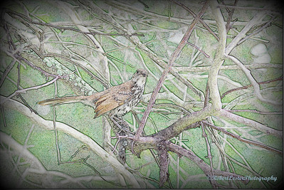 2014-06-01_IMG_0598__Brown Thrasher,Clearwater,Fl