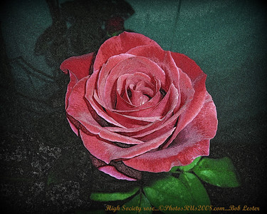 High Society rose...©PhotosRUs2008.com...Bob Lester