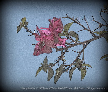 Bougainvilla...© 2014 www.PhotosRUs2008.com   Bob Lester   All rights reserved.