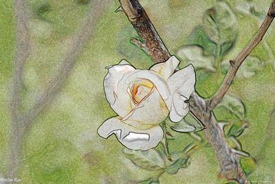 Pristine rose