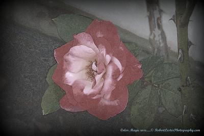 Color Magic rose......© RobertLesterPhotography.com