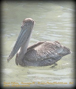 Brown Pelican,   Clearwater,Fl.     © www.PhotosRUs2008.com   Bob Lester   All rights reserved.