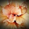 2016-03-20_P3202258_Artsie hibiscus,Clearwater,Fl
