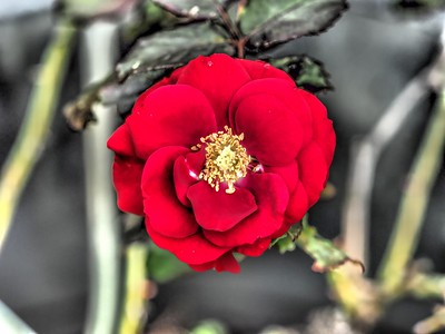 2019-01-03_  m1,jpeg , artdt,,red  rose,_P1030007