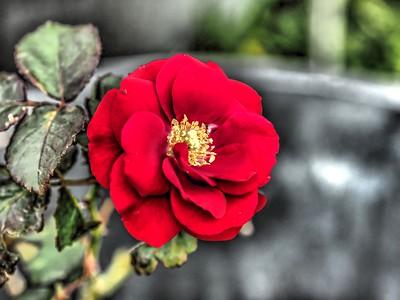 2019-01-03_  m1,jpeg , artdt,,red  rose,_P1030006