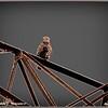 2015-11-17_PB170108_Bald Eagle Imm,Clearwater,Fl _