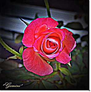 Roses 121407013