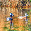 2017-02-07_P2070021_painterly 2,color sat100_ Ring-neck Duck