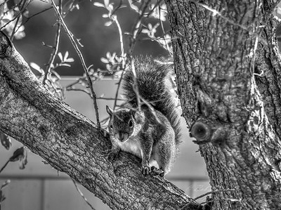 2019-03-08_ 300,autoiso_squirrel_--3080194_Monochrome 2