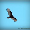 2016-11-28_PB280014_photogr,brght10 0_Turkey Vulture,Clwtr,Fl