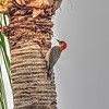 2017-02-05_P2050005_vib,colsat3 0,whitcl7 0_ Red-bellied Woodpecker,Clwtr,Fl