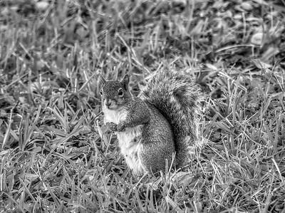2019-03-08_ 300,autoiso_squirrel_--3080189_Monochrome 2