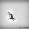 2016-11-28_PB280023_B&W Artistic_Turkey Vulture,Clwtr,Fl