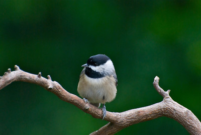 viewing, backyard, chickadee