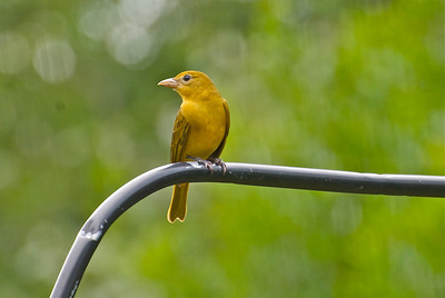 Summer Tanager viewing, backyard