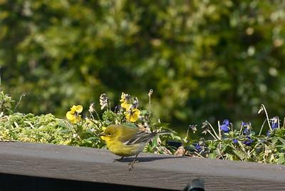 viewing, warbler