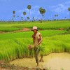 Picking rice in Cambodia
