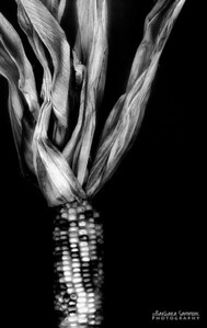 Dried Corn - Processed as black and white