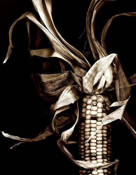"""Maize""<br /> Dried Corn<br /> Catalog #044<br /> <br /> Honorable Mention 