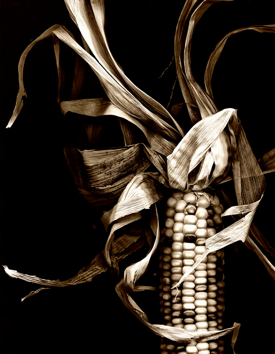 """Maize"" Dried Corn Catalog #044  Honorable Mention 