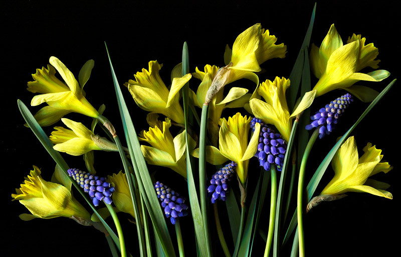 """Spring is Here""<br /> Daffodils and grape muscari.<br /> Catalog #091"