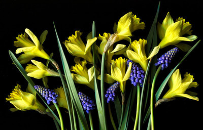 """Spring is Here"" Daffodils and grape muscari. Catalog #091"