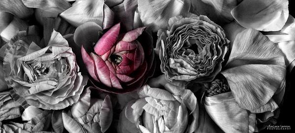 A Pop of Color - Ranunculus
