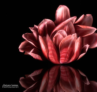 Catalog #3010 - Tulip Reflections - A tulip and many tuliip petals tucked together