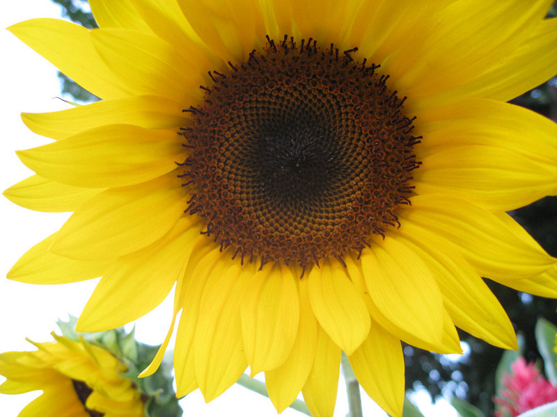 Another sun flower