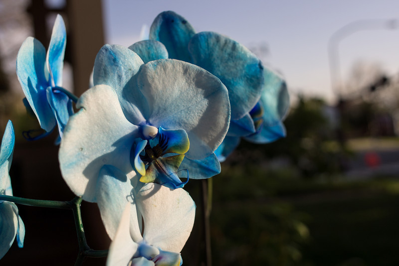 Nex-7 with Canon 24mm f2.8 SSC - Blue Orchid on the porch.