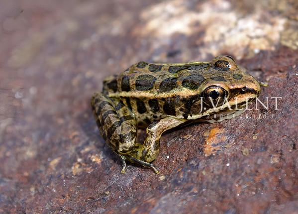 Pickerel Frog, Rana palustris
