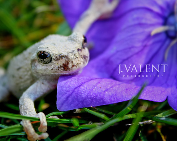 Nike the Gray Tree Frog, Hyla versicolor