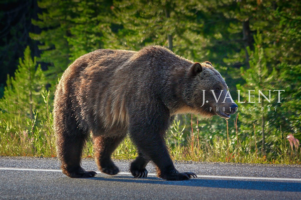 National Parks of Canada, Kootenay National Park - Grizzly Bear, Ursus Arctos horribilis