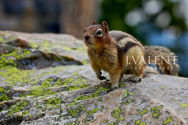 National Parks of Canada, Banff National Park - Golden-Mantled Ground Squirrel, Callospermophilus lateralis