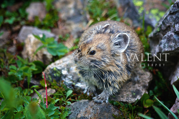 National Parks of Canada, Banff National Park - American Pika, Ochotona princeps at Lake Agnes