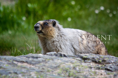 National Parks of Canada, Banff National Park - Consolation Lake, Bucky the Marmot