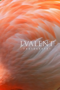 Flamingo, phoenicopterus - Abstract