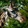 Giraffe at Roger Williams Zoo in RI<br /> <br /> <br /> Sony A200 with Quantaray 70-300 LDO
