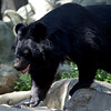 Moon Bear at Roger Williams Zoo in RI<br /> <br /> <br /> Sony A200 with Quantaray 70-300 LDO