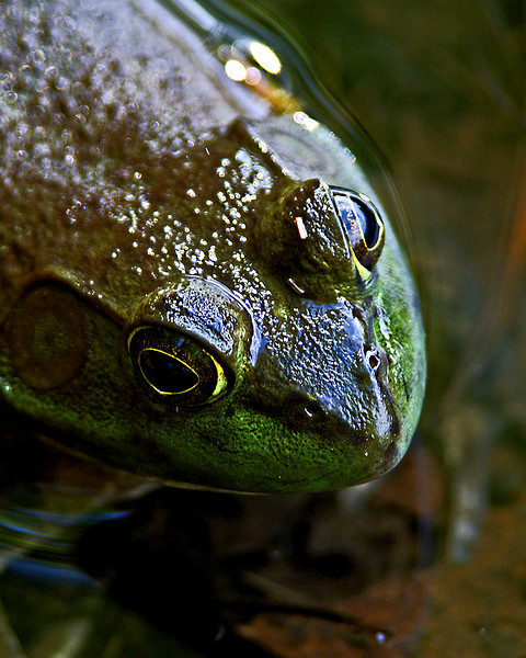 Frog at Dug Pond in Natick MA<br /> <br /> <br /> Sony A200 with Sigma 28-300
