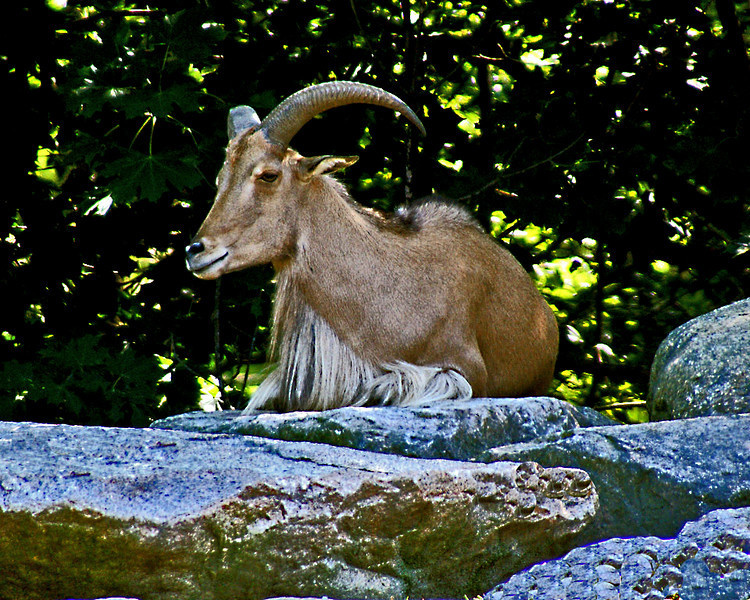 Mountain Goat at Roger Williams Zoo in RI<br /> <br /> <br /> Sony A200 with Quantaray 70-300 LDO