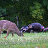 Young Deer and three wild turkeys in rain at Quabbin Reservoir MA<br /> <br /> <br /> Sony A200 with Quantaray 70-300 LDO