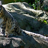 Snow Leopard at Roger Williams Zoo<br /> <br /> <br /> Sony A200 with Quantaray 70-300 LDO