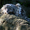 Snow Leopard at Roger Williams Zoo in RI<br /> <br /> <br /> Sony A200 with Quantaray 70-300 LDO and 2x TC