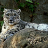 Snow Leopard at Roger Williams Zoo in RI<br /> <br /> <br /> Sony A200 with Quantaray 70-300 LDO plus 2x TC