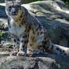 Snow Leopard at Roger Williams Zoo in RI<br /> <br /> <br /> Sony A200 with Quantaray 70-300 LDO with 2x TC