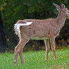 Young Deer flicking water off back at Quabbin Reservoir MA<br /> <br /> <br /> Sony A200 with Quantaray 70-300 LDO