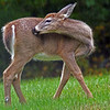 Young Deer in rain at Quabbin Reservoir MA<br /> <br /> <br /> Sony A200 with Quantaray 70-300 LDO